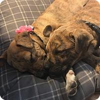 Adopt A Pet :: Gunner - Albemarle, NC