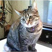 Domestic Shorthair Cat for adoption in Trexlertown, Pennsylvania - Misty