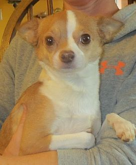 Chihuahua Mix Dog for adoption in Greenville, Rhode Island - Margaret