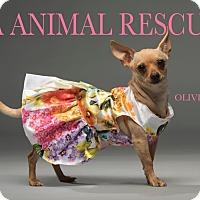Adopt A Pet :: Olivia - Los Angeles, CA