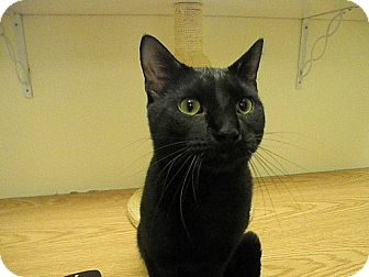 Domestic Shorthair Kitten for adoption in Milwaukee, Wisconsin - Binxster