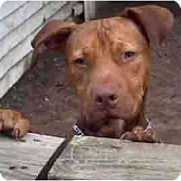 Adopt A Pet :: Pumpkin - Forest Hills, NY