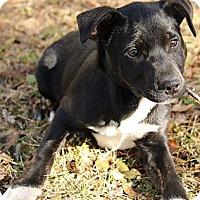 Adopt A Pet :: Chandler - Brattleboro, VT