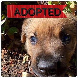 Labrador Retriever/Mastiff Mix Puppy for adoption in Regina, Saskatchewan - Esta