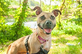 Pit Bull Terrier Mix Dog for adoption in North Haledon, New Jersey - Adeline
