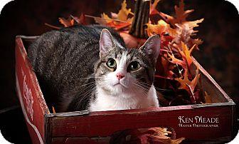 Domestic Mediumhair Kitten for adoption in Hillsboro, Illinois - Abby