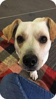 Basset Hound/Labrador Retriever Mix Dog for adoption in Irwin, Pennsylvania - Wally