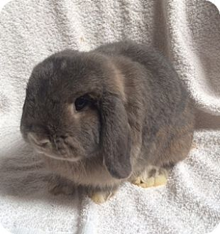 Lop-Eared Mix for adoption in Fountain Valley, California - Nibbles