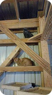 Domestic Shorthair Kitten for adoption in Monterey, Virginia - Tomi $35 adoption