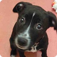 Adopt A Pet :: BROOK - Missoula, MT