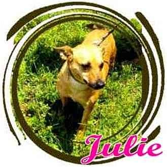 Chihuahua Mix Dog for adoption in Orlando, Florida - Julie