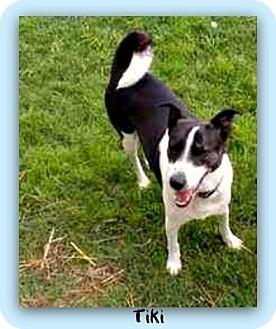 Border Collie/Shepherd (Unknown Type) Mix Dog for adoption in Eddy, Texas - Tiki