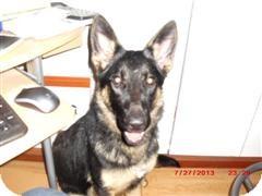 German Shepherd Dog Puppy for adoption in Northumberland, Ontario - Gracie