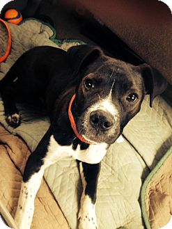 Pit Bull Terrier Mix Puppy for adoption in Las Vegas, Nevada - Beno