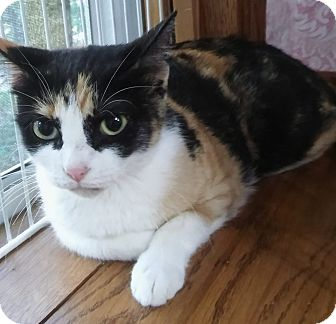 Domestic Shorthair Cat for adoption in Witter, Arkansas - Cleo