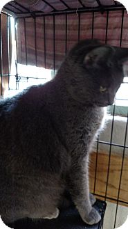Russian Blue Cat for adoption in Yuba City, California - Mitzie