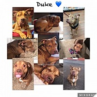 Adopt A Pet :: Duke - Chalfont, PA
