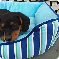 Adopt A Pet :: Joey - Rochester, NH
