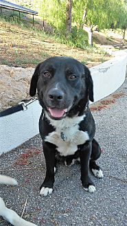 Labrador Retriever Mix Dog for adoption in Malibu, California - Malcolm