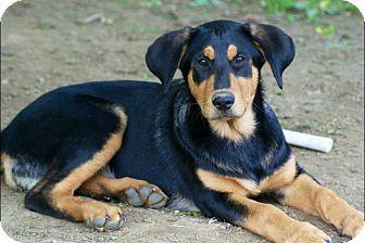 Hound (Unknown Type)/German Shepherd Dog Mix Puppy for adoption in Hollis, Maine - Roxie