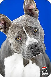 American Staffordshire Terrier Dog for adoption in Yoder, Colorado - Vera Wang