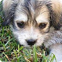 Adopt A Pet :: Scout - La Habra Heights, CA