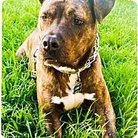 Adopt A Pet :: Loki - Huntington Beach, CA