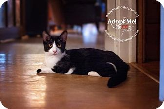 Domestic Shorthair Cat for adoption in Westminster, Maryland - Slate
