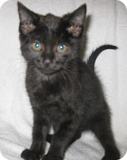 Domestic Shorthair Kitten for adoption in Gary, Indiana - Raven