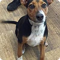 Adopt A Pet :: Rox Z - Orlando, FL