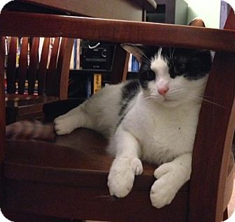 Domestic Shorthair Cat for adoption in Lambertville, New Jersey - Ace