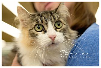 Domestic Longhair Cat for adoption in Baytown, Texas - Gigi