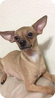 Chihuahua/Dachshund Mix Dog for adoption in Oakland, Florida - Minion
