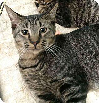 Domestic Shorthair Kitten for adoption in Tucson, Arizona - Joey - the explorer