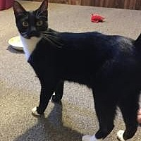 Adopt A Pet :: Tux - Sedalia, MO