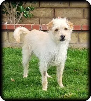 Terrier (Unknown Type, Small) Mix Dog for adoption in Newport Beach, California - Cannoli