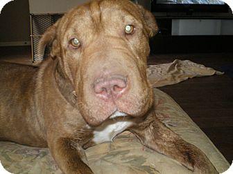 English Bulldog/Shar Pei Mix Puppy for adoption in Apex, North Carolina - Blanche
