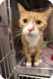 Domestic Shorthair Cat for adoption in Gainesville, Florida - Geoffrey