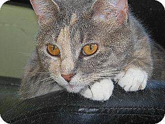 Domestic Shorthair Cat for adoption in Richmond, Virginia - Cora