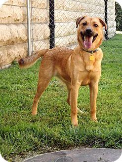 Belgian Malinois/Golden Retriever Mix Dog for adoption in Fort Riley, Kansas - Winston