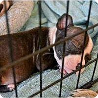 Adopt A Pet :: Rambo - Mesa, AZ