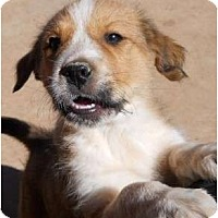 Adopt A Pet :: Spice - dewey, AZ