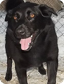 Labrador Retriever Mix Dog for adoption in Savannah, Missouri - Tori