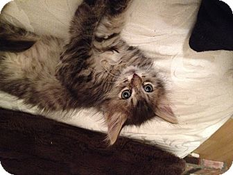 Domestic Longhair Kitten for adoption in Santa Rosa, California - Flynn