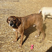 Catahoula Leopard Dog/Hound (Unknown Type) Mix Dog for adoption in Columbia, Kentucky - Kowalski