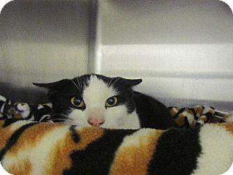 Domestic Shorthair Cat for adoption in Grand Junction, Colorado - Monique
