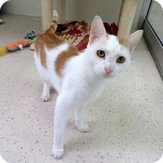 Domestic Shorthair Cat for adoption in Janesville, Wisconsin - Huck Finn