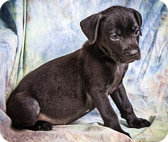 Labrador Retriever/Boxer Mix Puppy for adoption in Anna, Illinois - HAMILTON