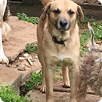 Labrador Retriever Mix Dog for adoption in Clarksville, Tennessee - Nathan - URGENT!!!