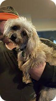 Yorkie, Yorkshire Terrier/Poodle (Miniature) Mix Dog for adoption in DAYTON, Ohio - Bitsey